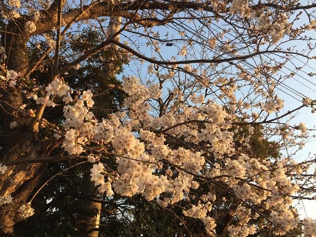 2018地元の桜2