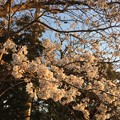 Photos: 2018地元の桜2