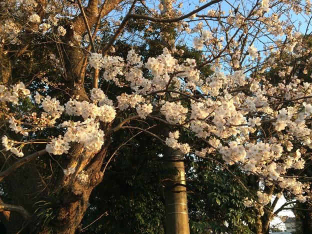2018地元の桜3