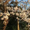 Photos: 2018地元の桜3
