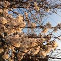 Photos: 2018地元の桜4