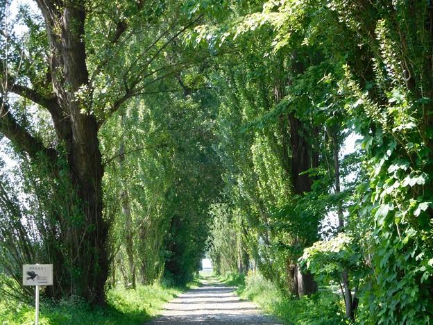北海道大学 ポプラ並木