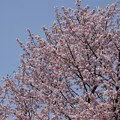 写真: 円山公園の桜