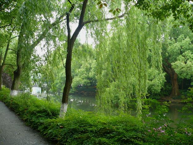 杭州西湖・しだれ柳の中で
