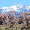 写真: 六道堤の桜と南アルプス千丈岳