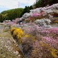写真: 花桃の里
