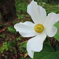 写真: シラネアオイ(白花)