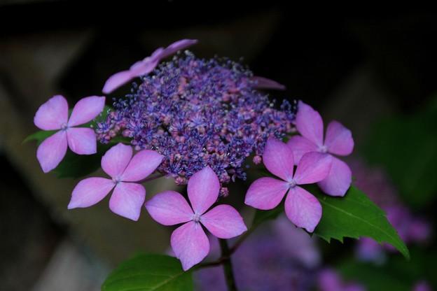 写真: 紫陽花#2