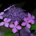 紫陽花#2