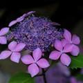 Photos: 紫陽花#2