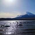 写真: 富士山と白鳥 逆光ヴァージョン