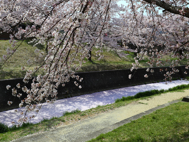 Photos: 花弁の川 弐