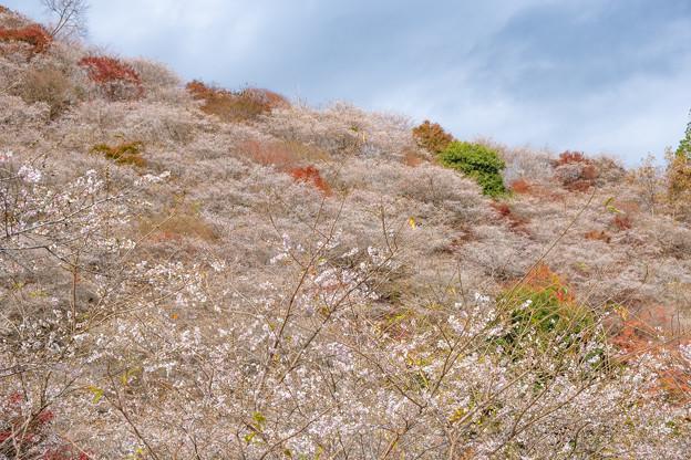 川見四季桜の里 2