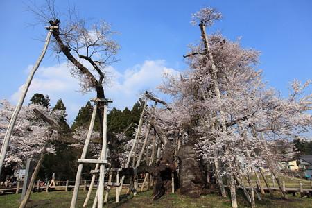 長井市 国天然記念物 久保の桜2