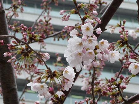 090401-MM21の桜 (2)