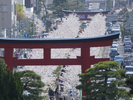 170413-鶴岡八幡宮 (20)