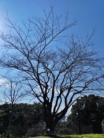200318-桜@地方気象台 (1)