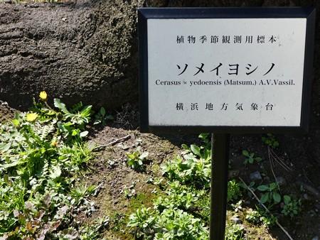 200318-桜@地方気象台 (3)