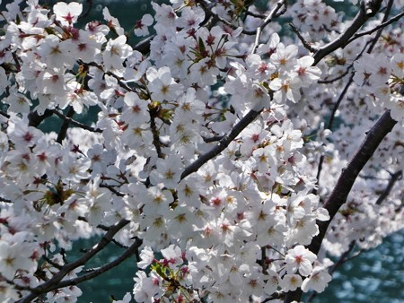 200404-桜@みなとみらい (3)