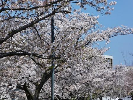 200404-桜@みなとみらい (45)