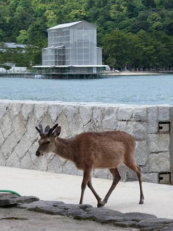 200525-宮島・厳島神社 (51)