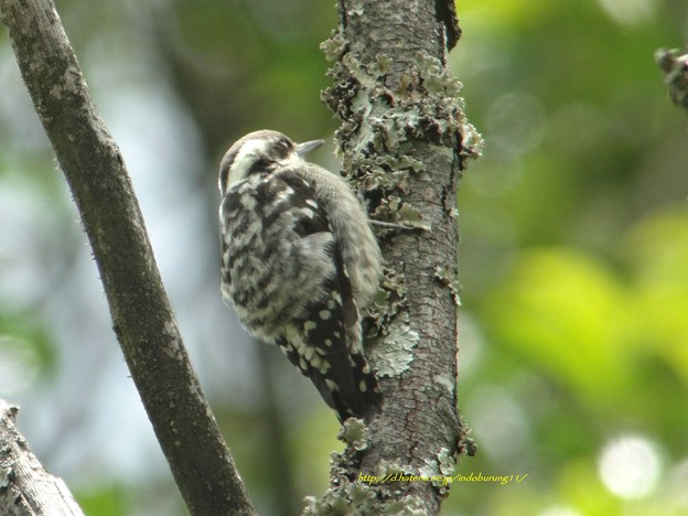 Brown-capped Pygmy Woodpecker9012