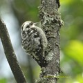 Photos: Brown-capped Pygmy Woodpecker9012