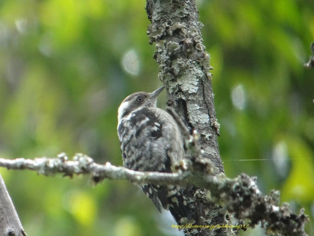 Brown-capped Pygmy Woodpecker9014