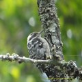 Photos: Brown-capped Pygmy Woodpecker9014