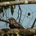 Photos: JungleNightjar3834