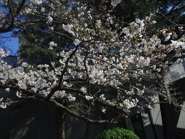 【13290号】#桜2018 平成300322 #NPS4