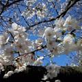 【13291号】#桜2018 平成300322 #NPS2