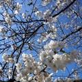 【13291号】#桜2018 平成300322 #NPS3