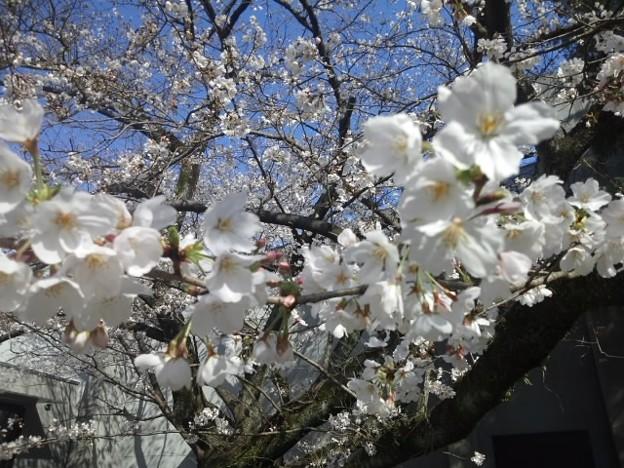 【13291号】#桜2018 平成300322 #NPS4
