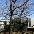【13292号】素材:桜 平成300322 #NPS1