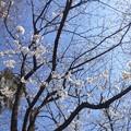 【13292号】素材:桜 平成300322 #NPS2