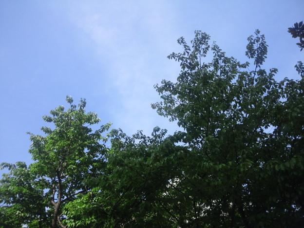 Photos: 【14563号】葉桜 平成310416 /1