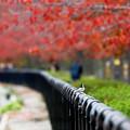 紅葉を見上げるセキレイ