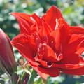 八重咲きアマリリス赤