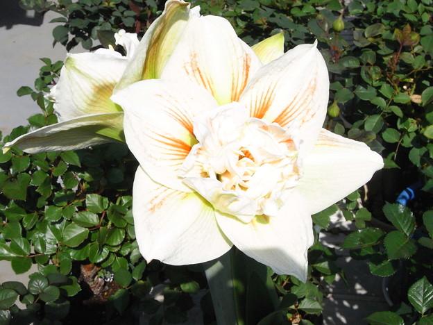 八重アマリリス絞り開花