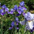 写真: 咲いていたジャーマンアイリス