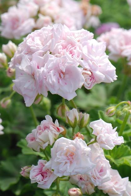 バラ咲きゼラニュームアップ