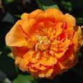 Photos: 花型が変わったマルサラ