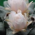 玉牡丹の花アップ