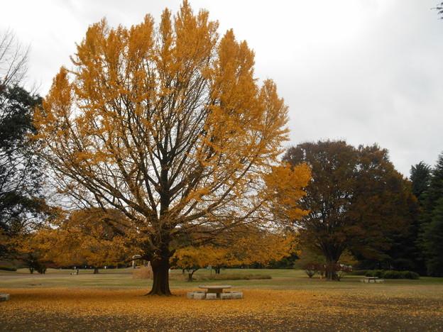 Photos: 公園のイチョウ黄葉