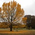 公園のイチョウ黄葉