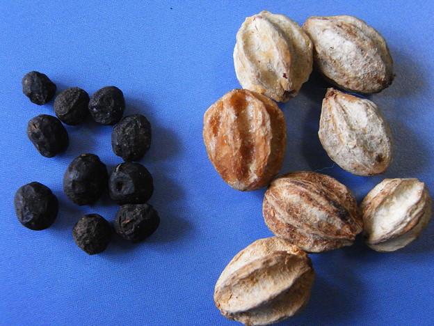 栴檀(右)と白檀の種子