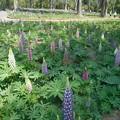 Photos: 武蔵丘陵森林公園ルピナス