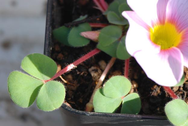 ウリフローラの葉