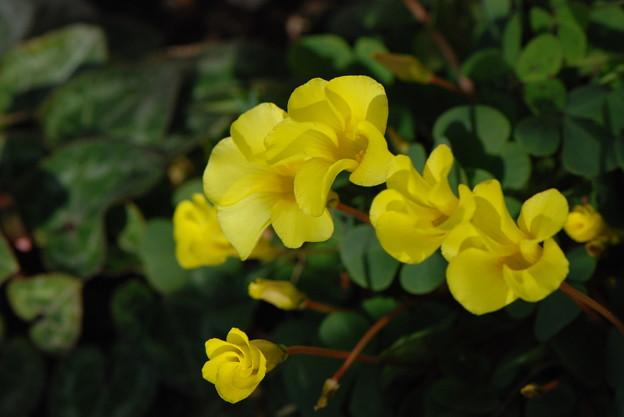 オキザリス黄花